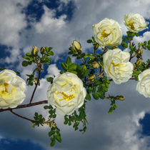 Белая дикая роза в небе с облаками (white wild rose in the sky with clouds)))